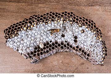 Wasps nest.