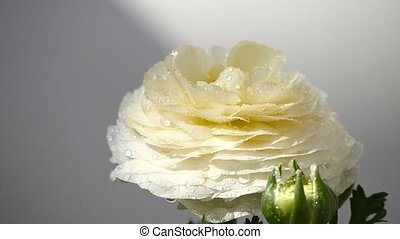 wasser, fallender , butterblume, persisch