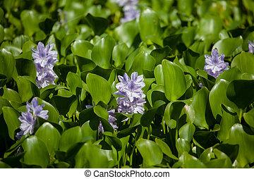 wasser- hyazinthe, in, everglades nationalpark, florida