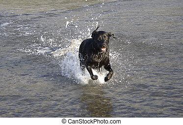 wasser, schwarz, rennender , durch, labrador