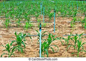 wasser- spray, auf, ein, landwirtschaftlich