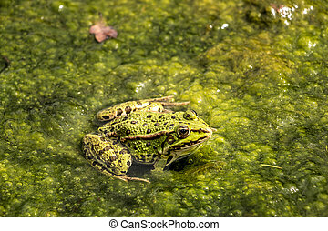 wasser, voll, grün, frogspawn, frosch