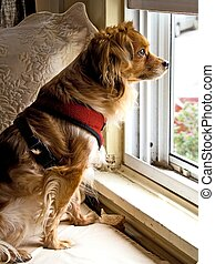 Watch Dog - A small dog looks out a window, watching over...