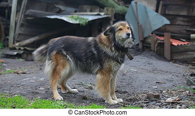 watchdog with chain on the farm - watchdog with chain on the...