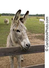 Watchful Burro - Small grey burro watching over pasture...