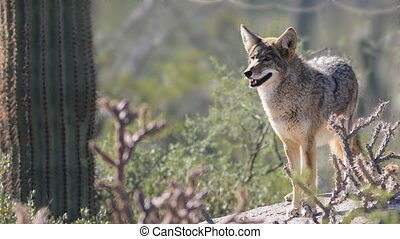 Watchful Coyote, anis latrans in the Sonoran Desert - A...
