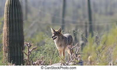 Watchful Coyote, anis latrans, Sonoran Desert - A Watchful...