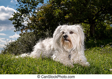 A white dog lying in the grass and looking very alert.