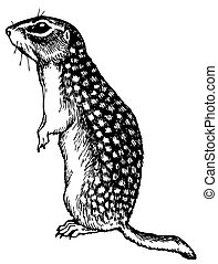 Watchful gopher standing on white background