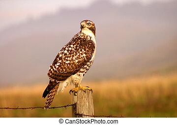 Watchful Hawk - Rough legged ahwk hunts in a field.