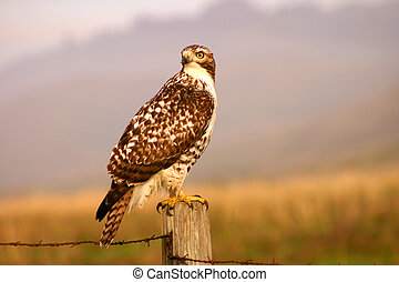 Watchful Hawk - Rough legged ahwk hunts in a field.