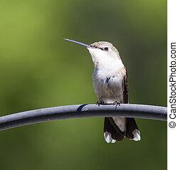 Watchful hummingbird