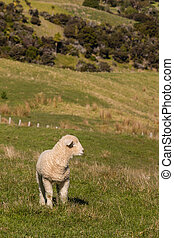 watchful lamb standing on pasture