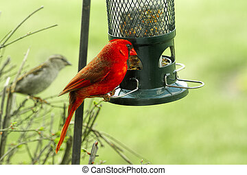 Watchful large Red Cardinal Perched on Birdfeeder