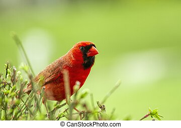 Watchful large Red Cardinal Sits cautiously on a bush