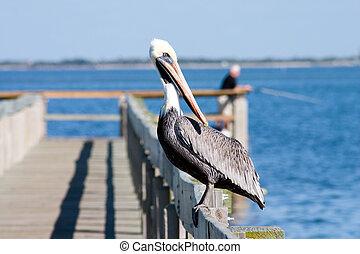 Watchful Pelican - Florida Brown Pelican perched on popular...