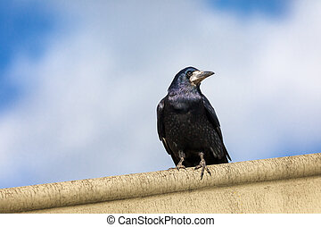 Watchful rook, Corvus frugilegus, perched on a ledge against...