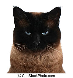 siamese cat portrait with narrowed eyes and menacing look