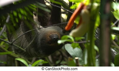 Watchful sloth hanging from a branch behind leaves - Wide...