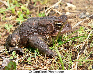 Watching and Waiting - American Toad