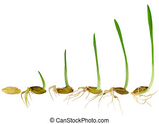 Watching blade of grass Grow, isolated on white background