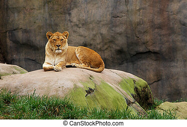 Watching Lioness - Lioness watching from a large boulder...