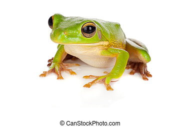 Watching tree frog - Sitting white-lipped tree frog or...