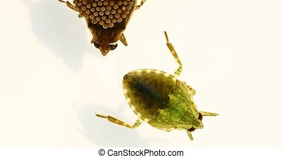 Water Beetle with eggs on back - This is a macro video of a ...