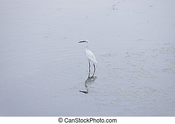 Water bird - Little egret in the water