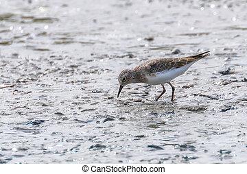 Water Bird Sandpiper, Common Sandpiper (Actitis hypoleucos)