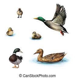 Water birds, Flying duck, duck in the water, standing male ...