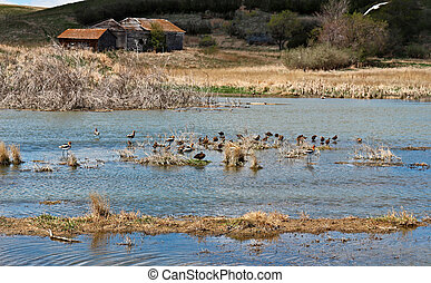 Water Birds on The Prairie - Water birds have gathered in a...