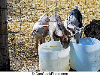Herd of goats take a water break at the fence on a sunny afternoon