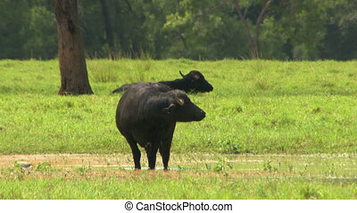 Water Buffalo Grazing In Farm - Steady, medium close up shot...