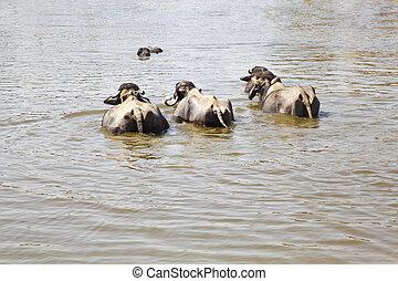 Water Buffalo group take a dip