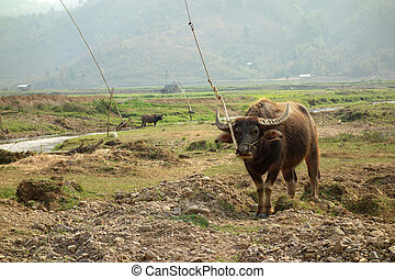 water buffalo in a rice field