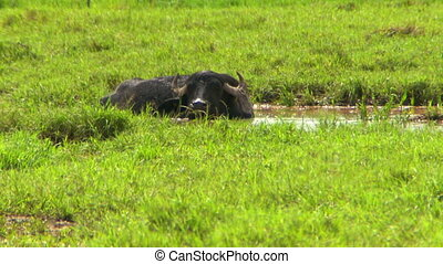 Water Buffalo In Marsh Water - Steady, medium wide shot of a...