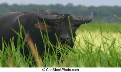 Water Buffalo In Tall Grass, Chewing - Steady, close up shot...