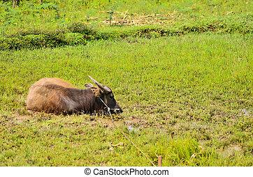 water Buffalo in the lake