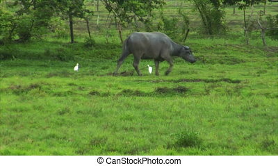 water buffalo ox with 2 white birds