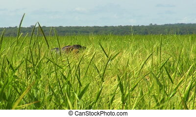 Water Buffalo Partially Hidden By Tall Grass - Steady,...