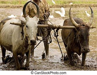 water buffalo ploughing a rice paddy field - Water buffalo ...