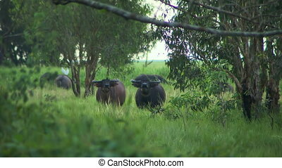 Water Buffalo Trotting Towards Camera - Steady, wide shot of...