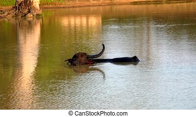 Water Buffalo With Only One Horn Stands Neck Deep in Lake.