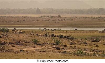 Wide low-angle still shot of water buffaloes grazing along Yamuna river, India