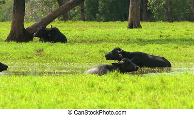 Water Buffalos In Field And Water