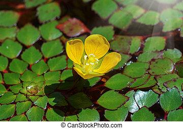 Water Chestnut Flower. (Trapa bispinosa Roxb.)