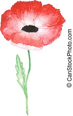 water color red poppy isolated on white background