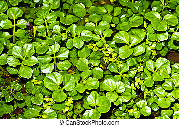 water cress, Nasturtium officinale