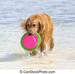 Water dog - Golden retriever in the ocean coming ashore with...